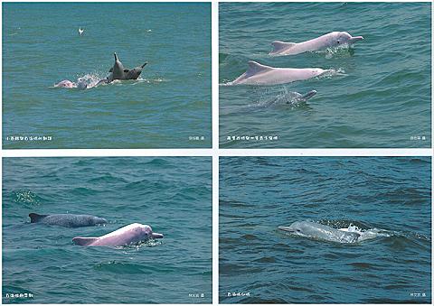 白海豚明信片4入